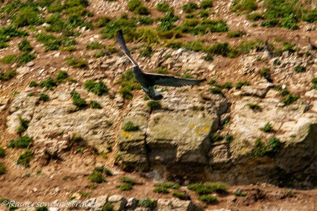 Bird Soaring near Puffin Island