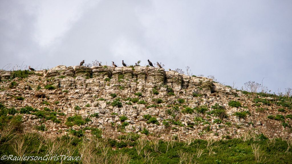 Guillemots perched on top of ledge