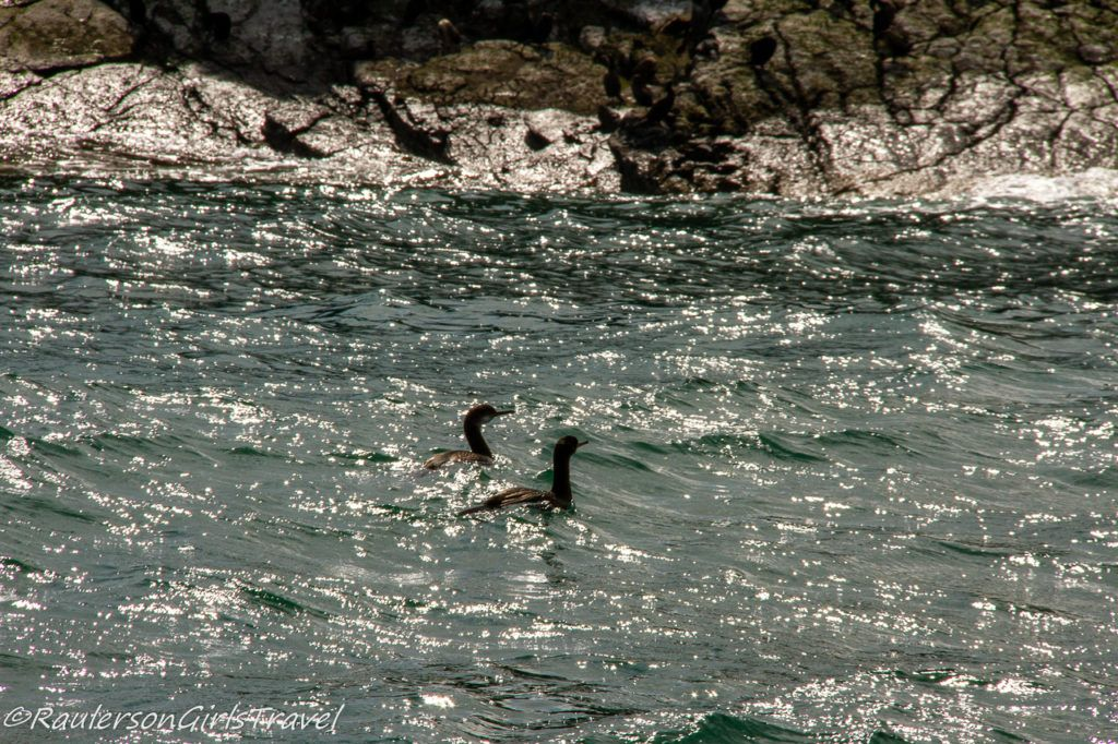 Two birds floating in the water off of Puffin Island