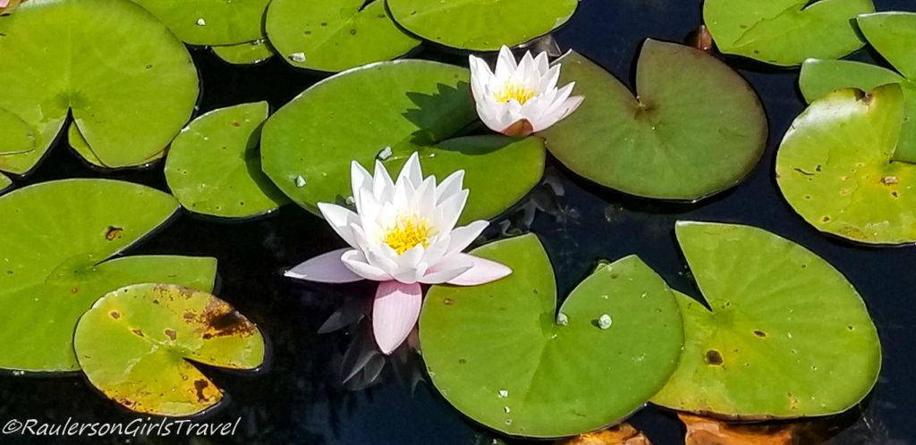 Lilies on Lily Pads
