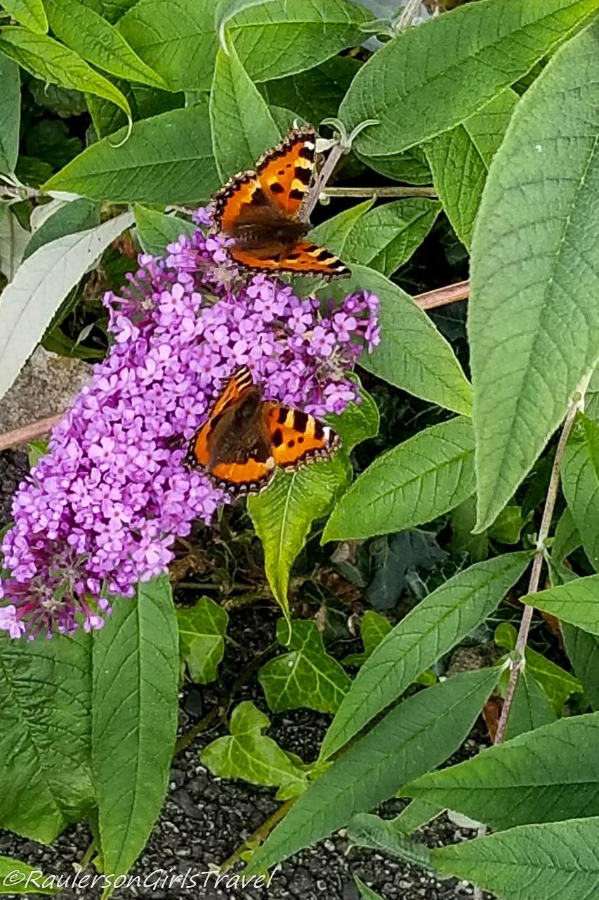 Butterflies on purple flowers