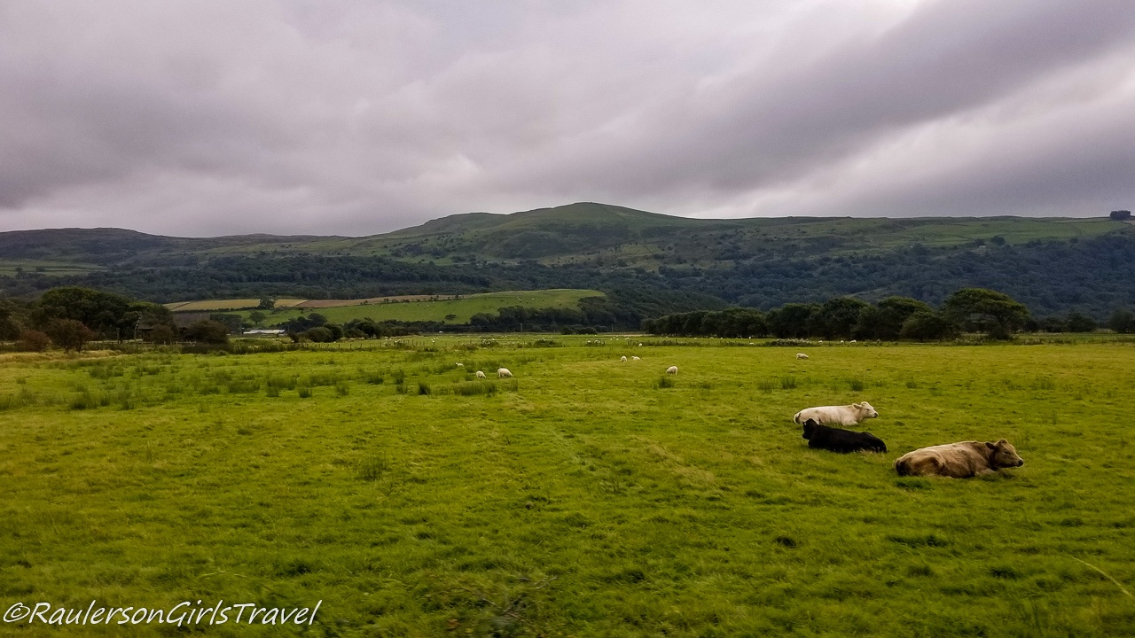 Cows in the Wales Countryside