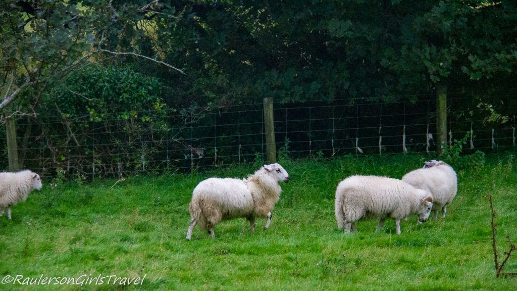 Sheep grazing by a fence