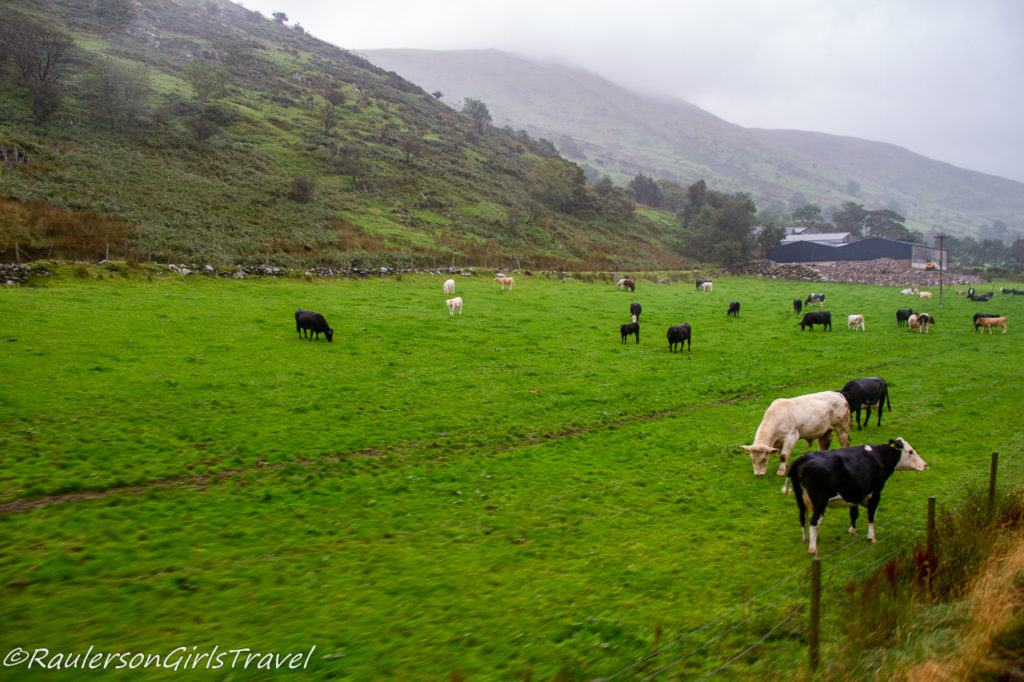 Cows in Snowdonia National Park