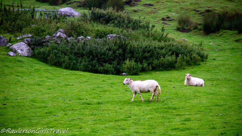 Sheep in Snowdonia National Park