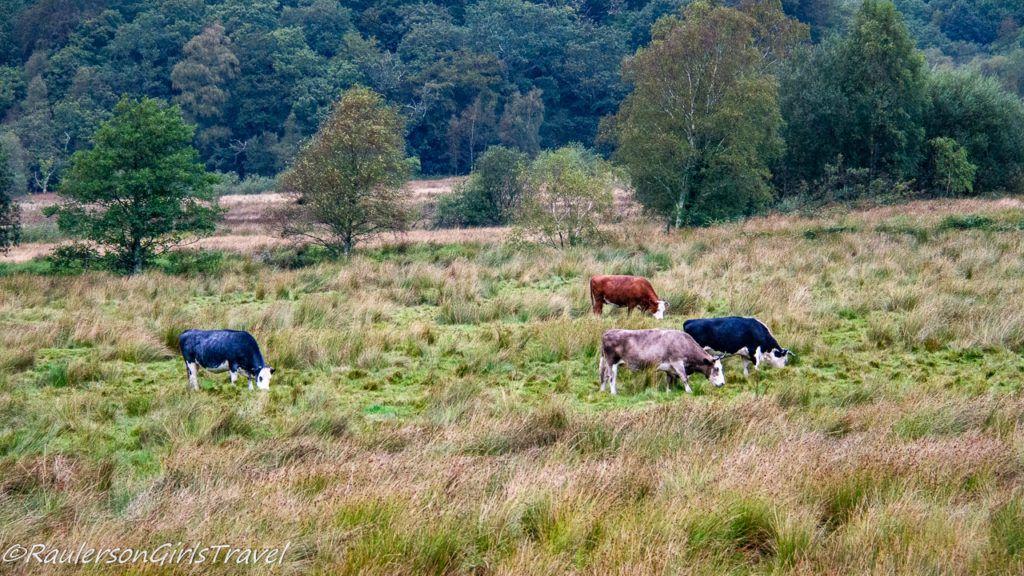 Cows in Snowdonia Nature Park