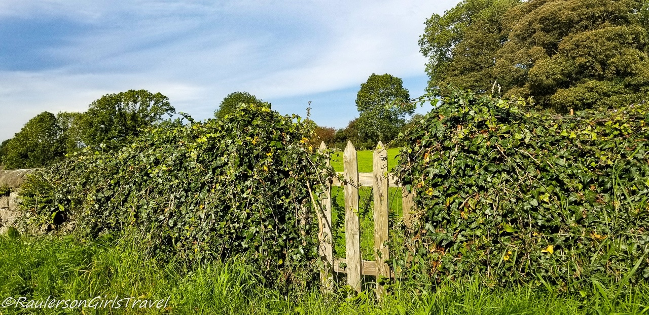Ivy on Stone Fence and Wooden Gate