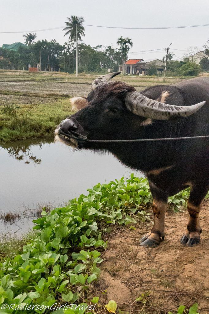 Luc the Water Buffalo