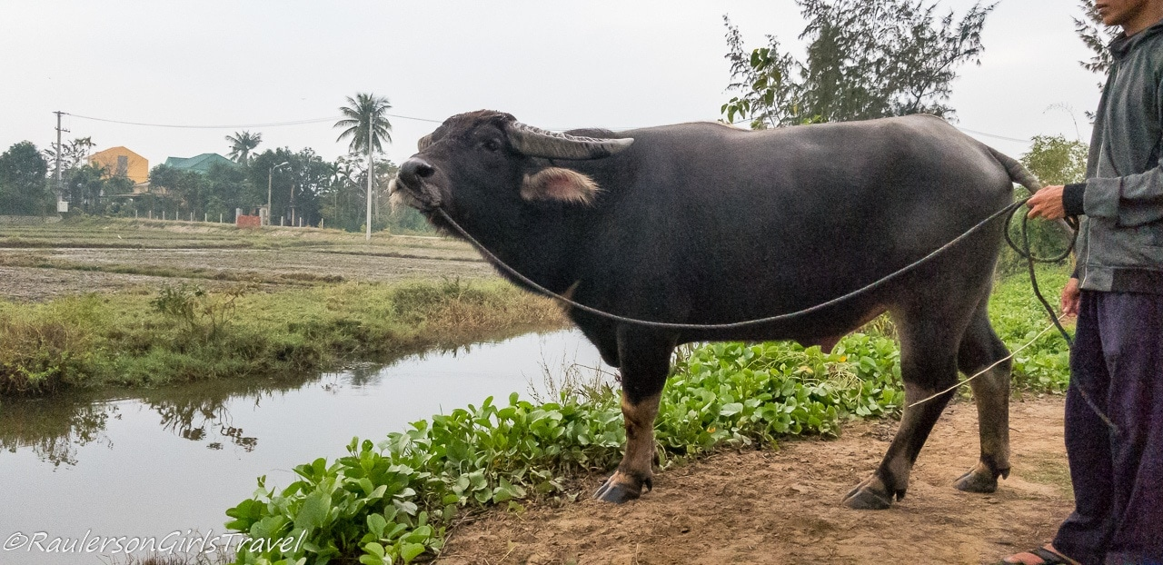 Luc the water buffalo on the Hoi An Eco Green Tour
