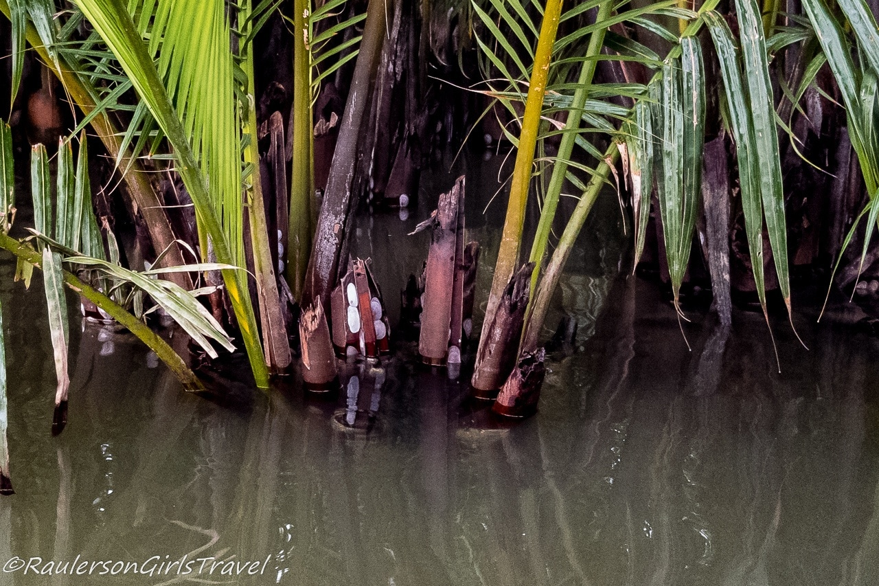 Oysters growing on Coconut Trees