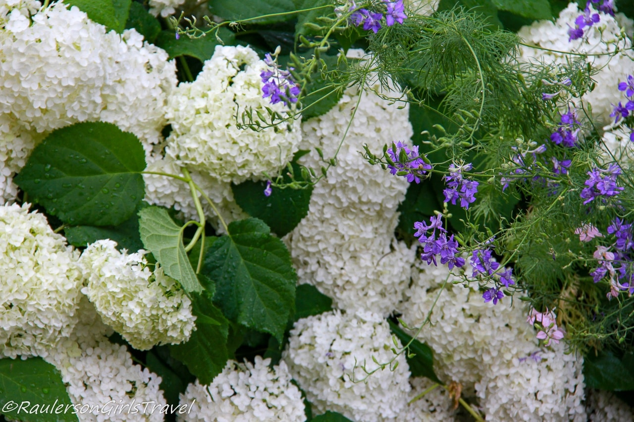 White Hydrangeas and purple flowers