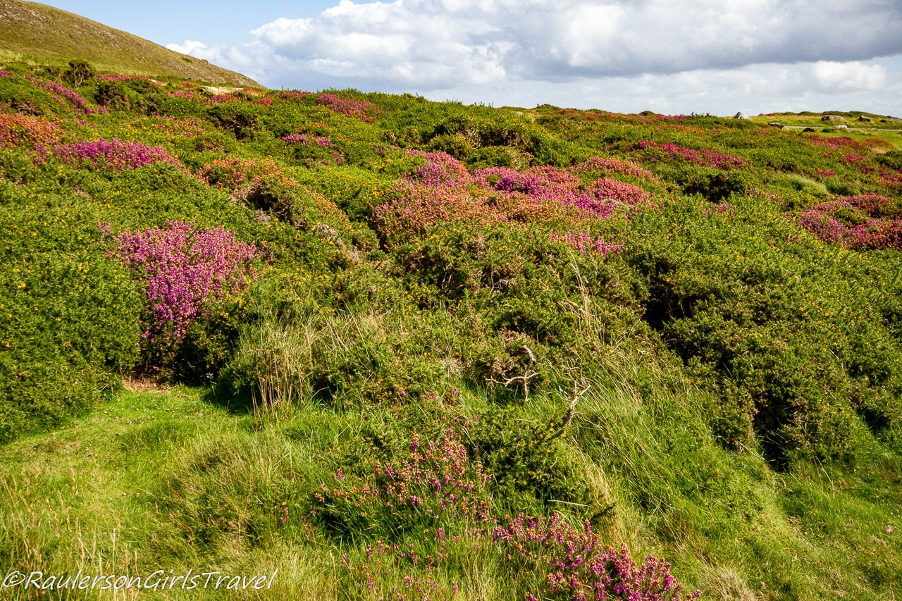 Heather flowers at the Great Orme Summit