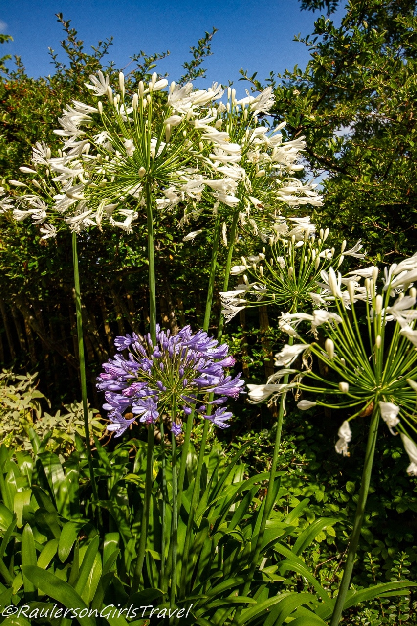 White and purple Lily of the Nile