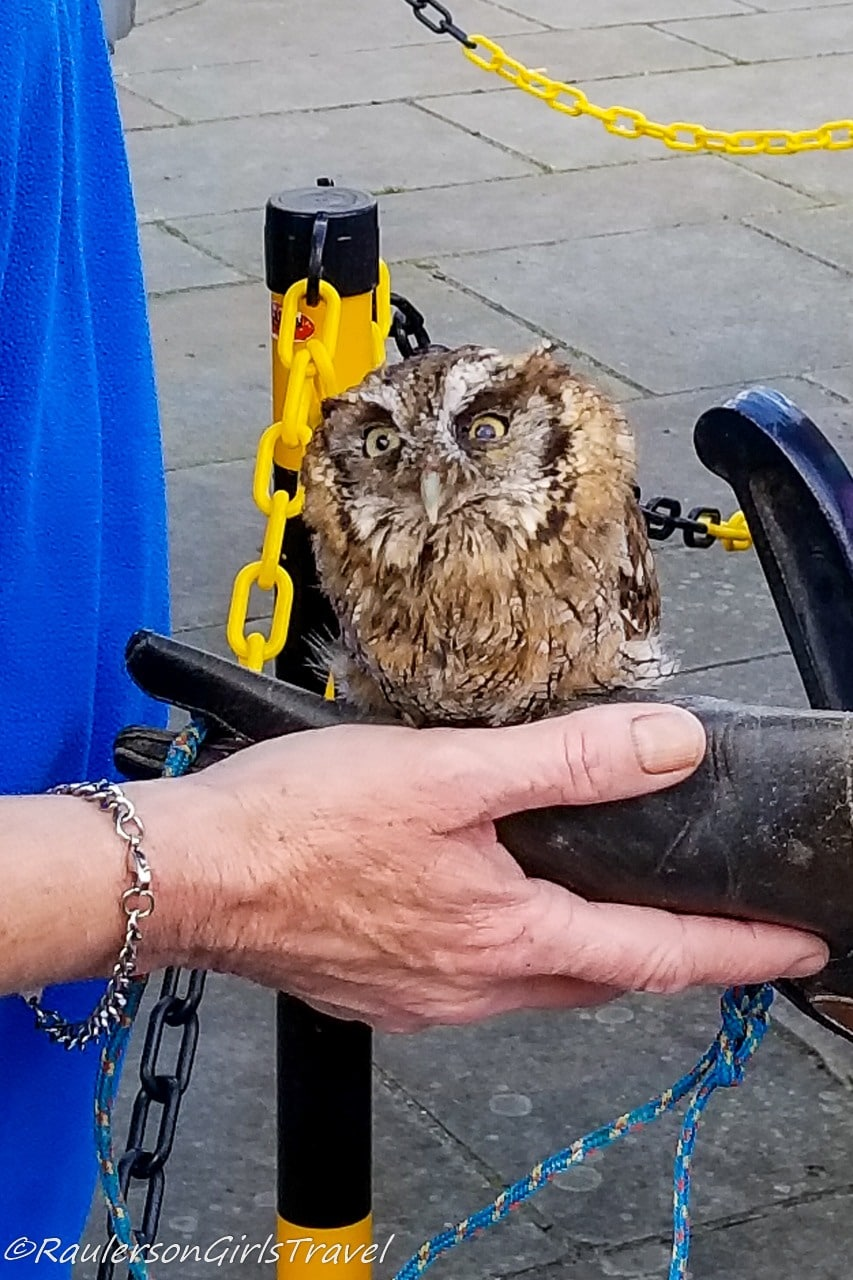 Little owl perched on a hand