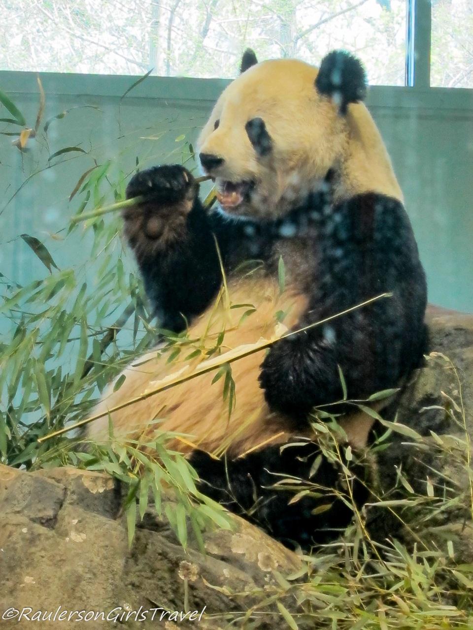 Giant Panda at Smithsonian Zoo