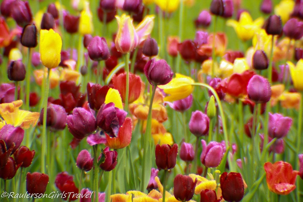 Dark purple, yellow, and red tulips