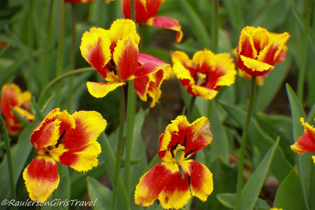 Red and yellow fringed tulips