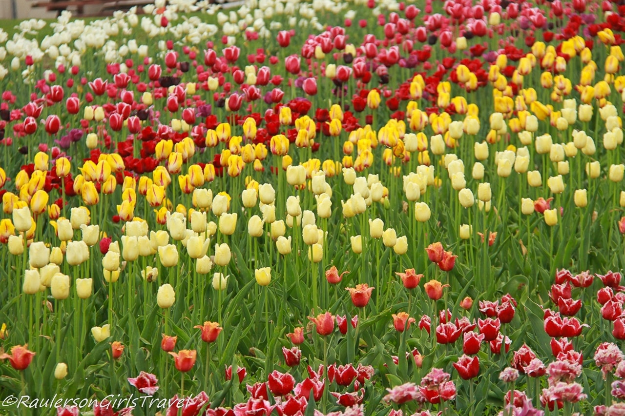 Rows of Red and Yellow Tulips