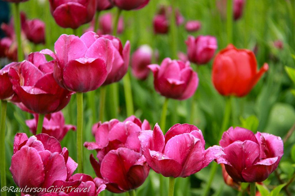 A group of pink tulips and one red tulip