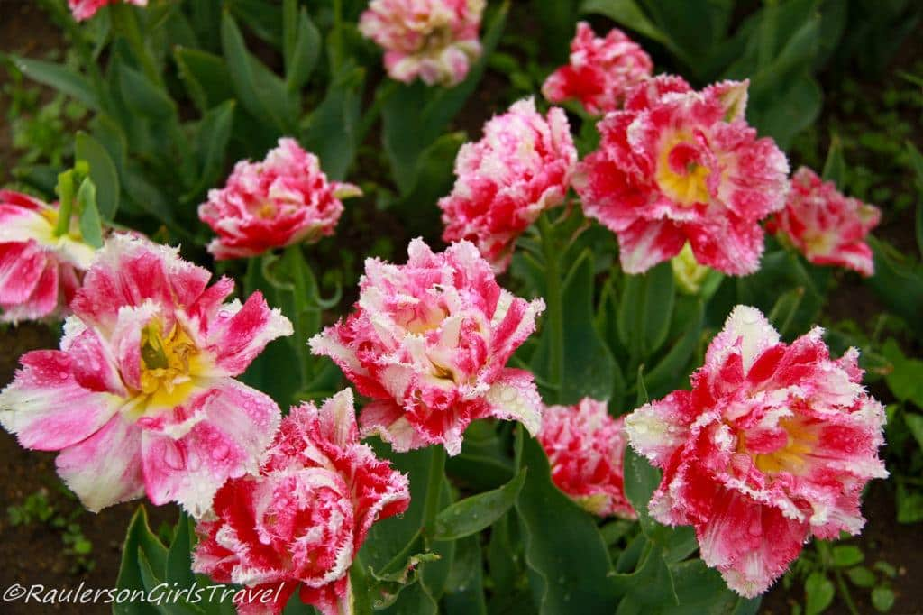 Pink and White Fringed Tulips