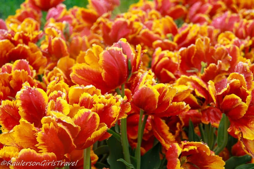 Bright orange and yellow Parrot tulips
