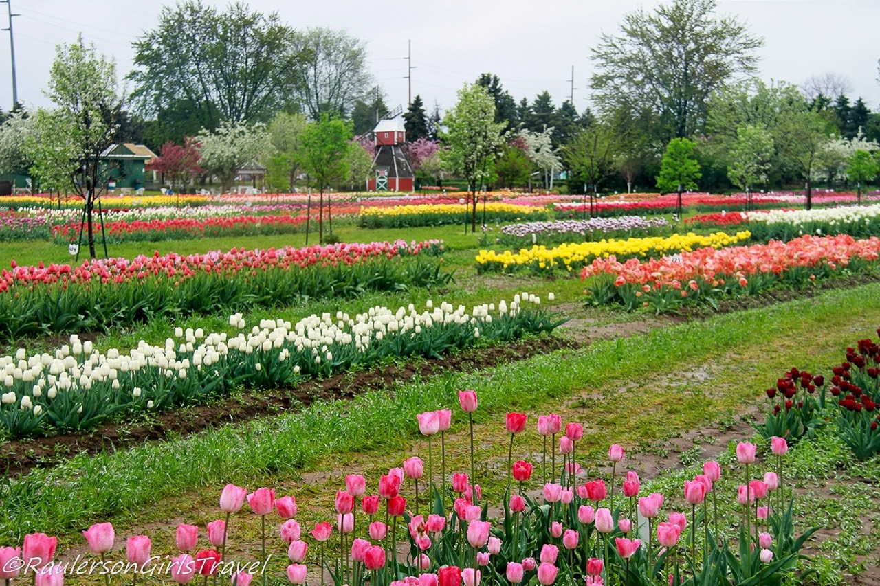 Rows of Tulips at Veldheer Tulip Gardens