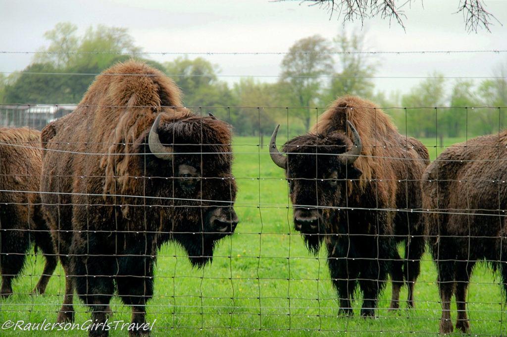 Buffalo at Veldheer Tulip Gardens