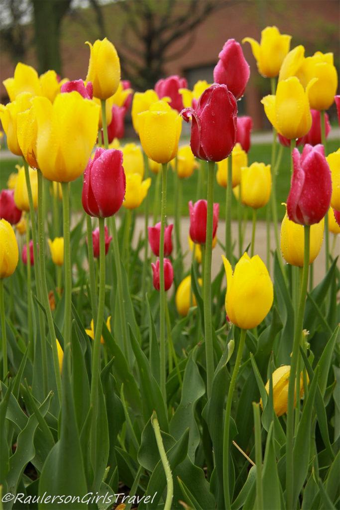 A bunch of red and yellow tulips