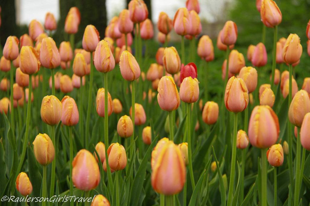 Group of peach tulips in a garden