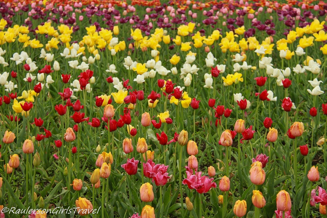 Rows of colorful tulips at the Holland Tulip Festival