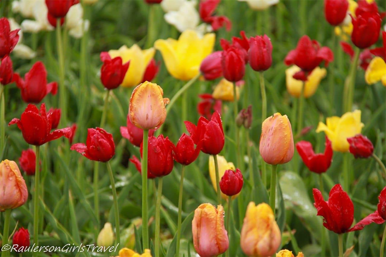Multi-colored tulips at the Holland Tulip Festival