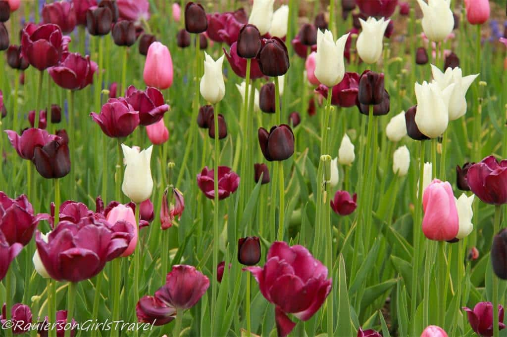 Deep purple, white, pink, and purple tulips at the Holland Tulip Festival