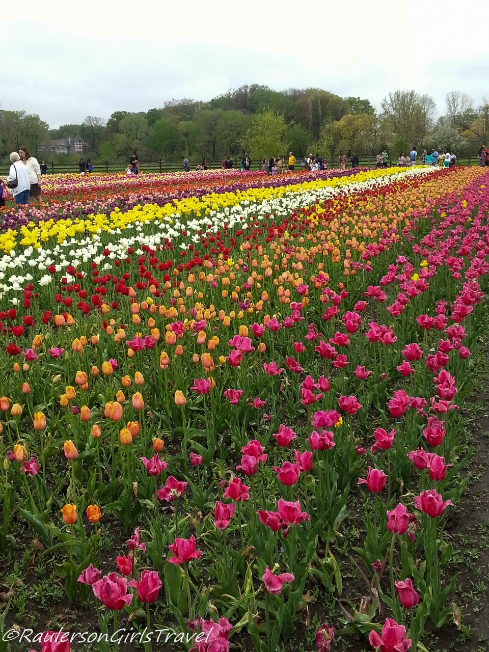 Rows of colorful tulips at Windmill Island Gardens
