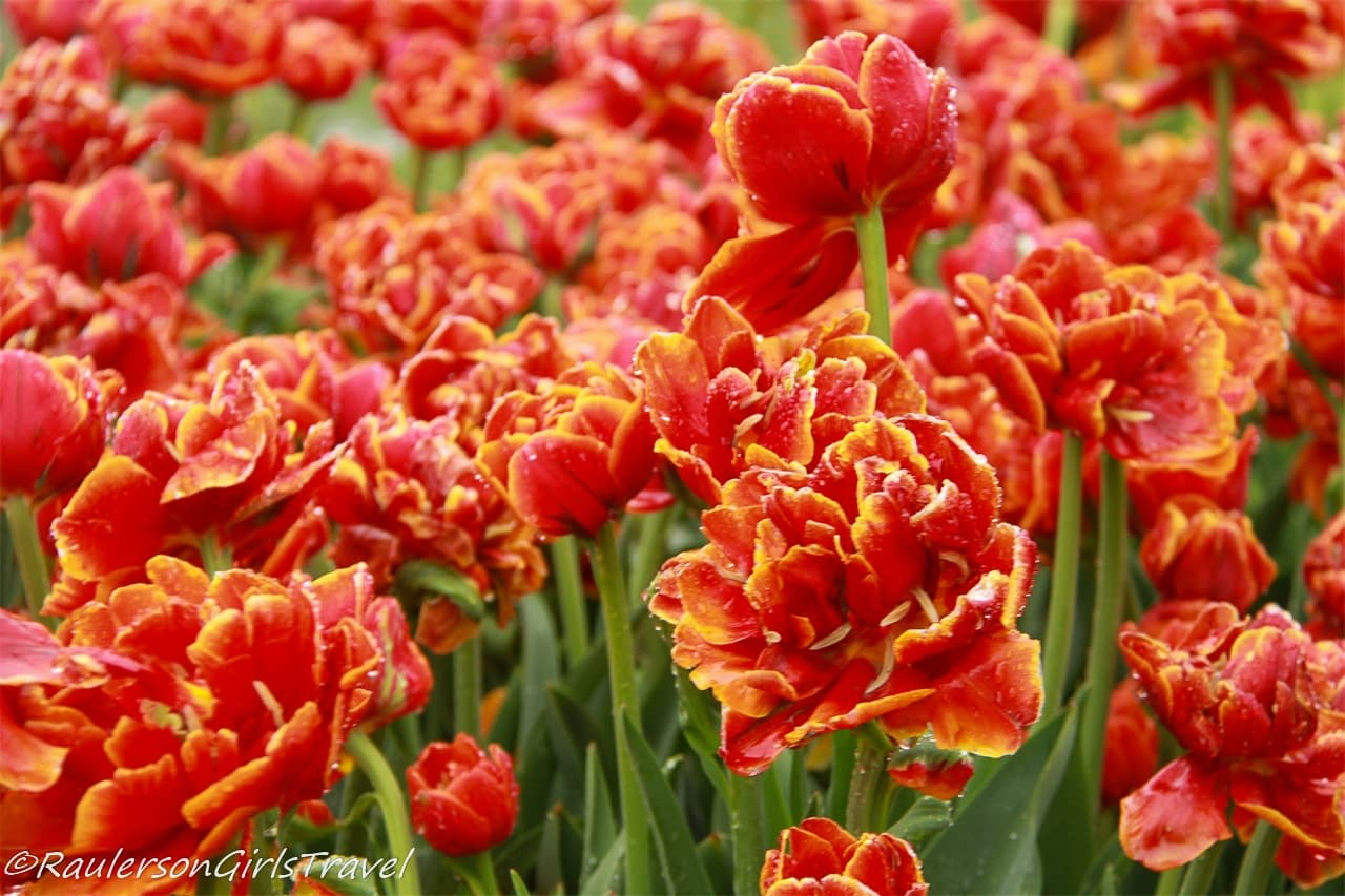 Bunch of Bright Orange and Yellow Tipped Tulips