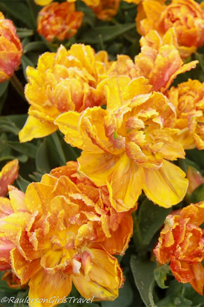 Orange and yellow mixed Double Tulips
