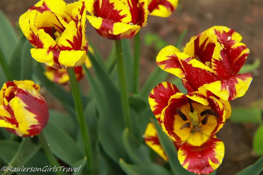 Bright red and yellow mixed tulips