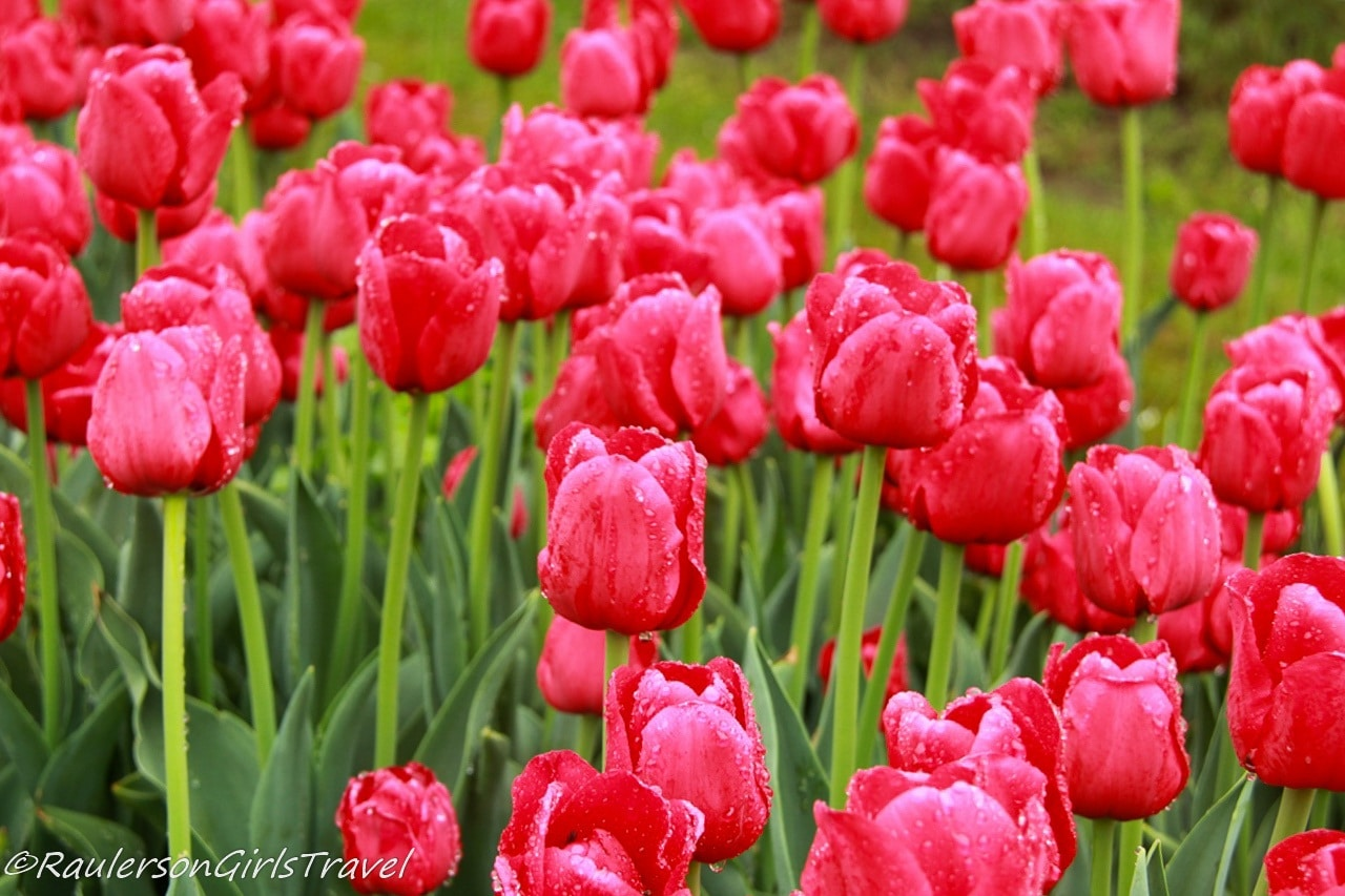 Bright red tulips after rain