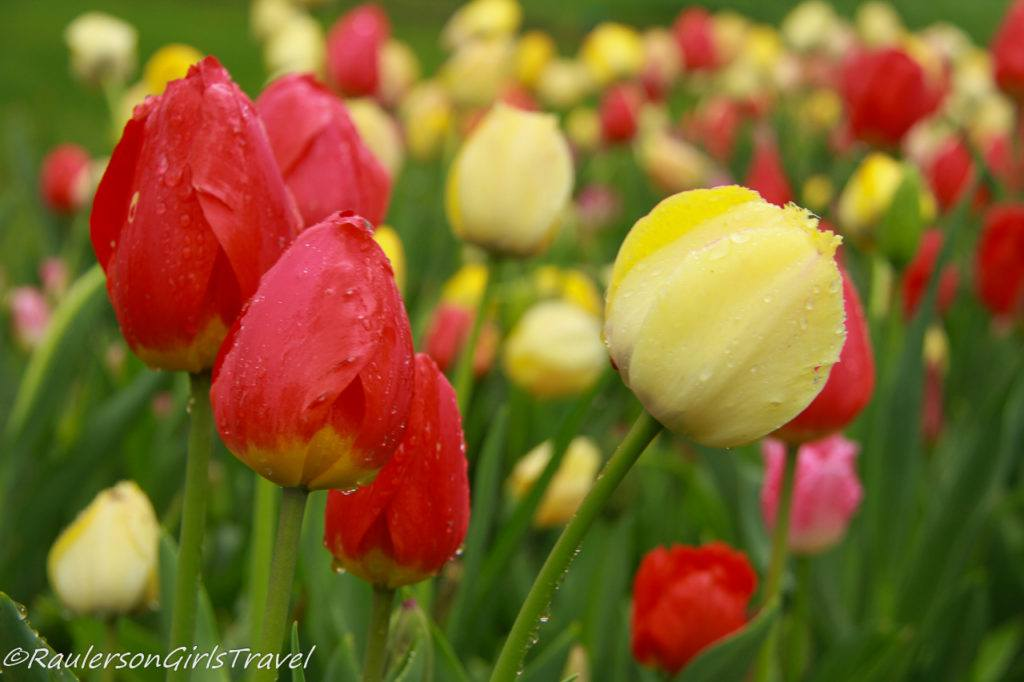 Close-up of Red and Yellow Tulips after rain