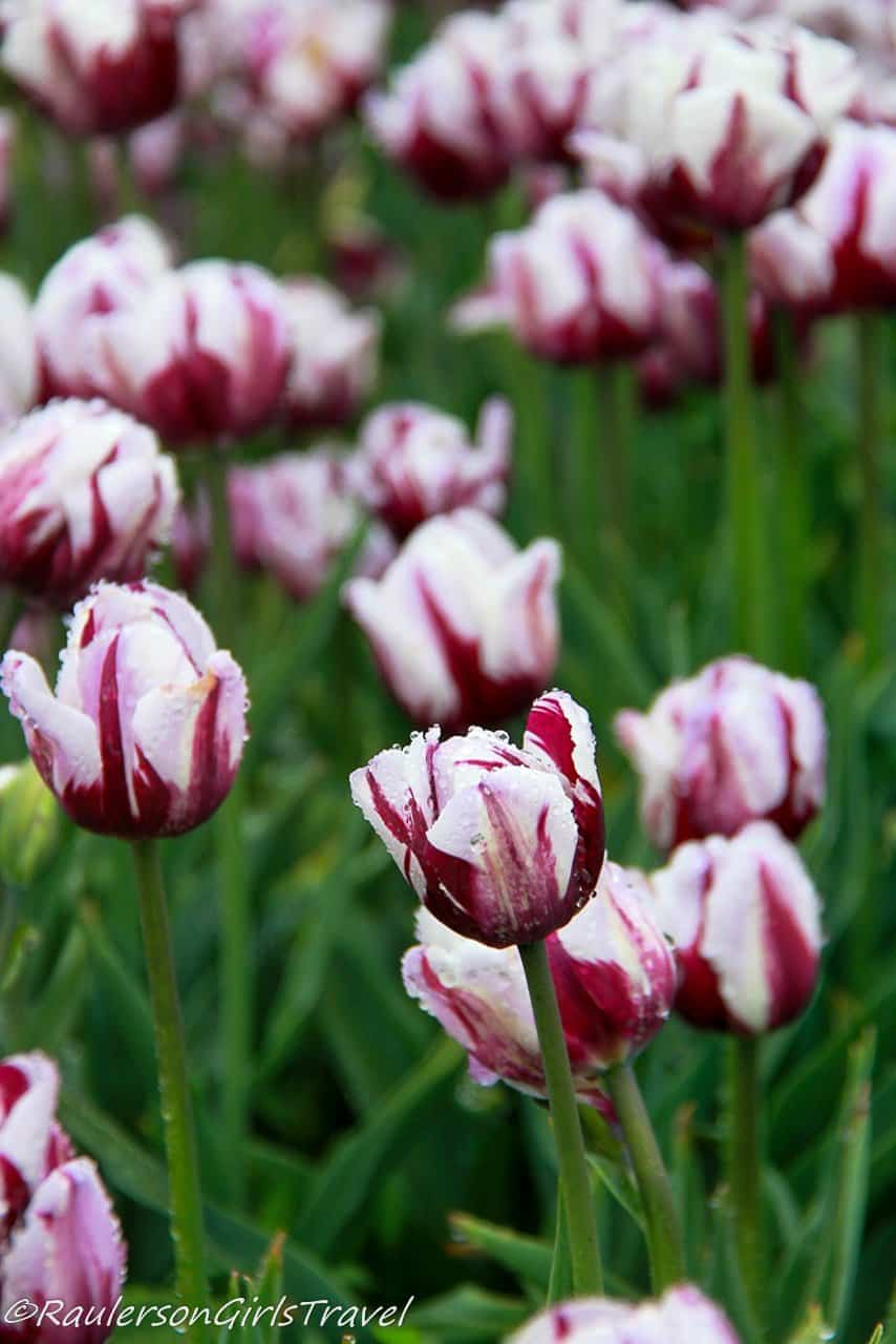Deep red and white tulips