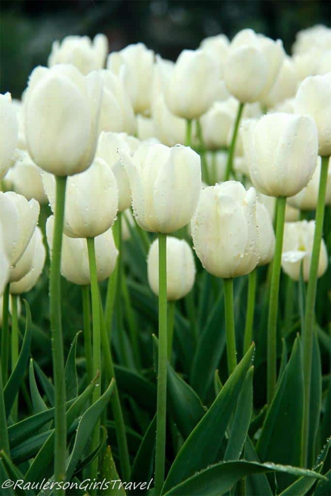 White tulips with rain drops