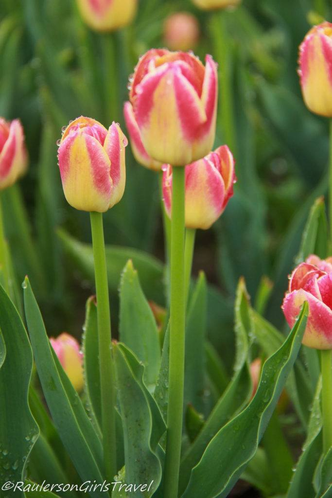 Yellow and Pink-tipped Tulips with rain drops on them