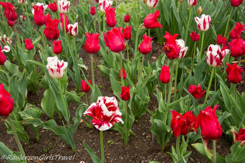 Bunch of red and red and white mixed tulips