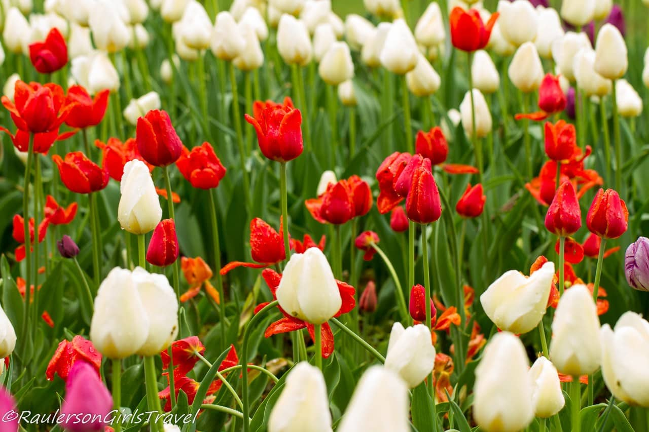 Rows of White and Red Tulips