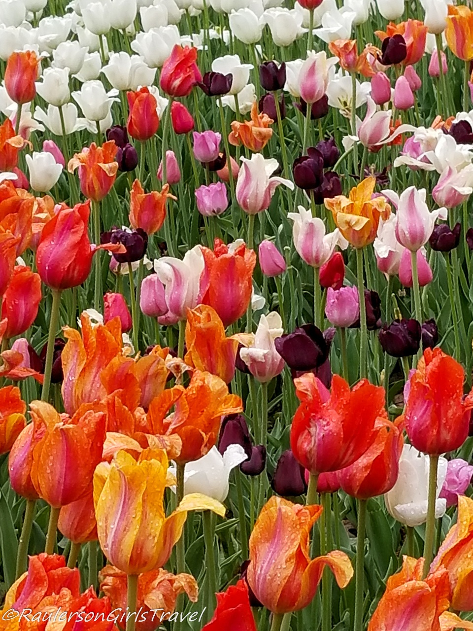 Bright and colorful tulips at the Holland Tulip Festival