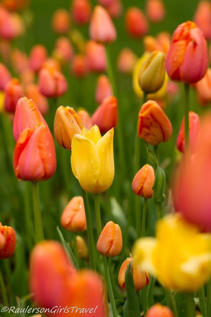 Yellow and Cream-orange tulips