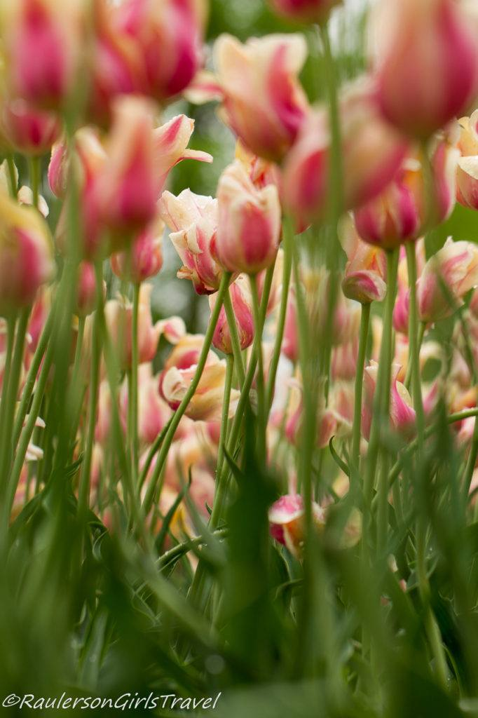 Pink and Cream Tulips