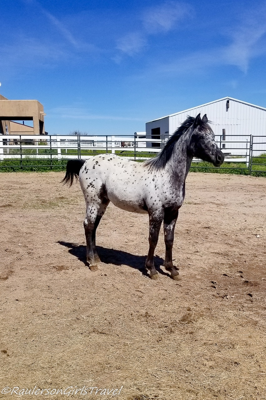 Fred at Auld Macdonald Farm Arabians