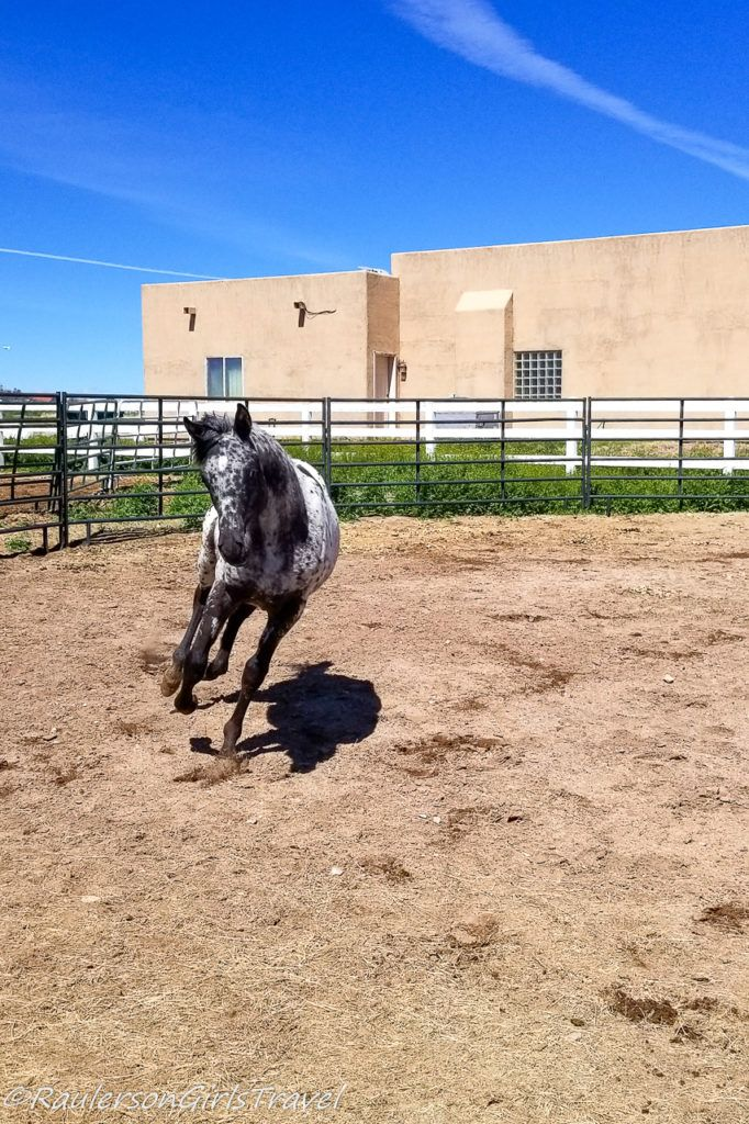 Fred galloping around the round pen