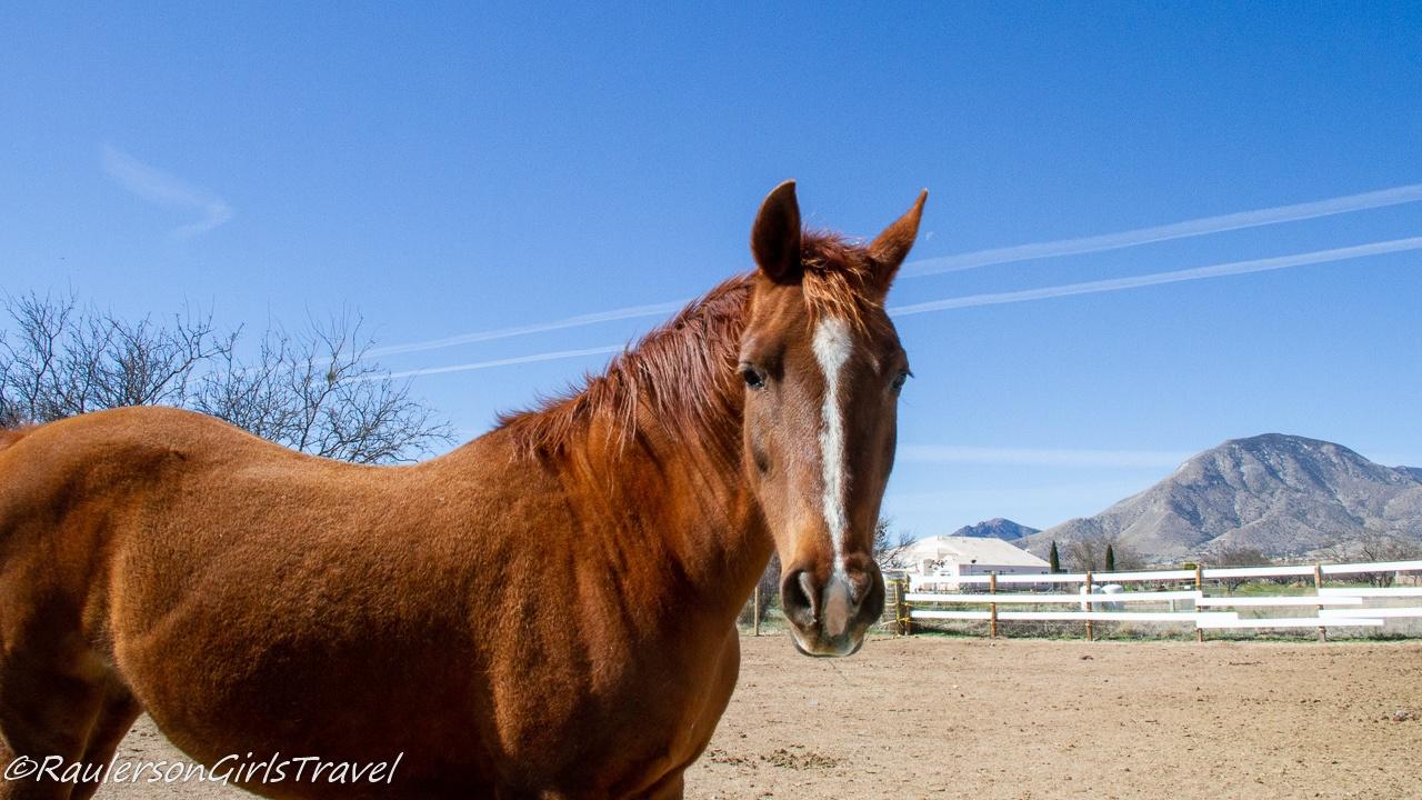 Split Shot at Auld Macdonald Farm Arabians