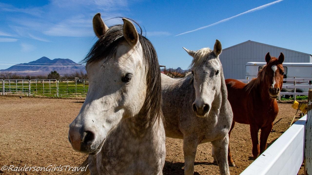 The Boys at Auld Macdonald Farm Arabians